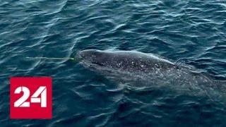 Download ″Газпром нефть″ завершила экспедицию по исследованию редкого вида китообразных - Россия 24 Video