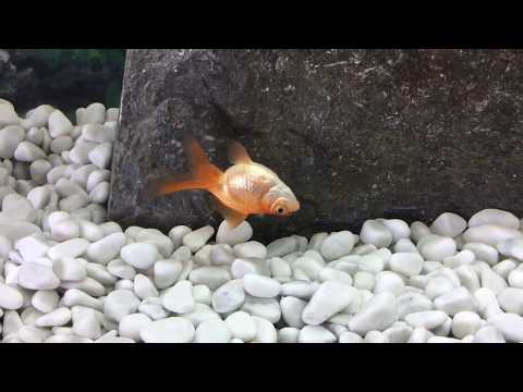 My goldfish is dying!