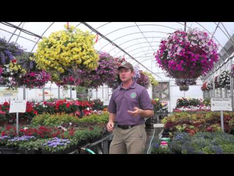 How to Grow HUGE Hanging Baskets