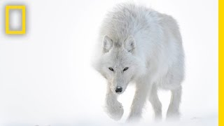 Photographer Captures Stunning Arctic Wildlife | Short Film Showcase