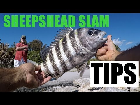 Catching Sheepshead Fishing With Shrimp Rigging Tips