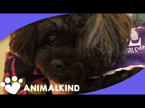 This teacup poodle rides elevators to visit friends