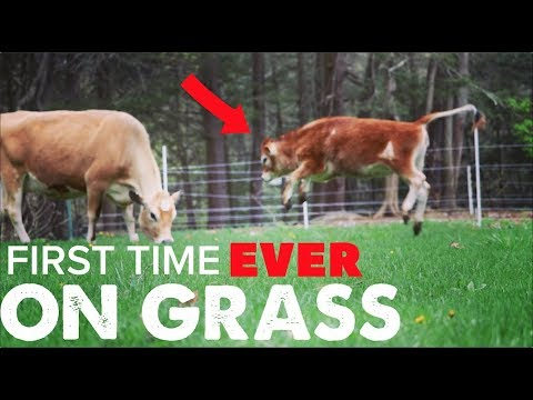 CUTEST THING - LITTLE COW'S REACTION TO GRASS FOR THE FIRST TIME