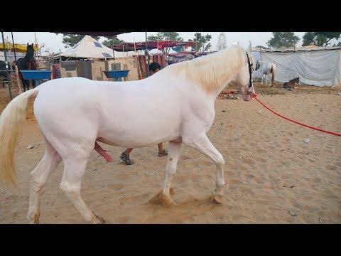 Xxx Mp4 Marwari Horses In Pushkar Mela Video Marwadi Ghoda In Pushkar Fair Rajasthan Horse In India 3gp Sex