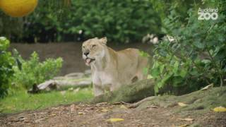 Zoo Tales - Playful lions