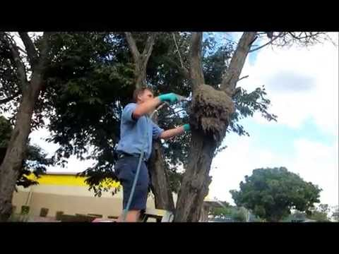 Treating a termite nest in a tree 2015