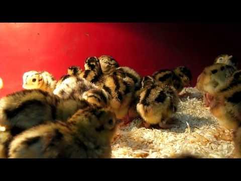 Raising Pheasant   First Week   2011