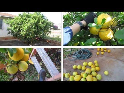 Pick Fruit and Prune Lemon Tree at the Same Time