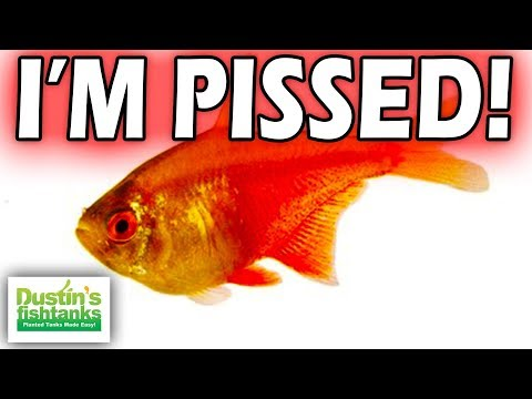 PISSED OFF SMALL AQUARIUM FISH: TOP 5 Most Pissed Off Petite Aquarium Fish