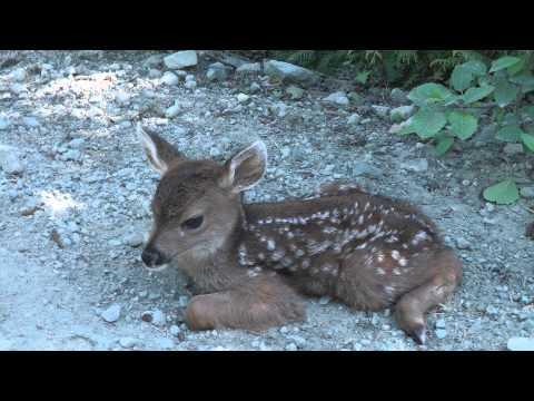 Baby Deer calls Logger