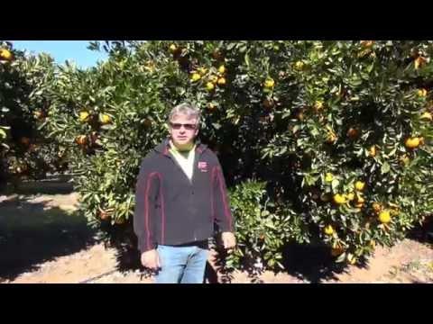 Navel orange pruning with Darren Minter Part 1