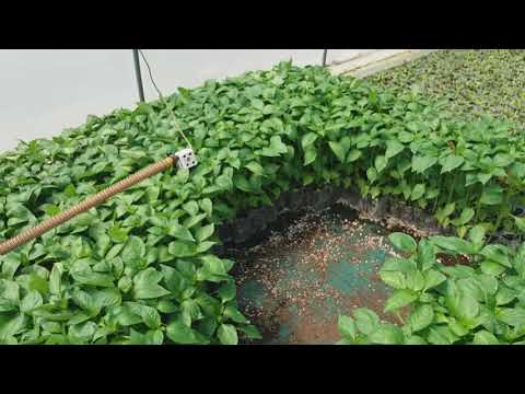 Agricultural technology  smart farming tomato seeding nursery