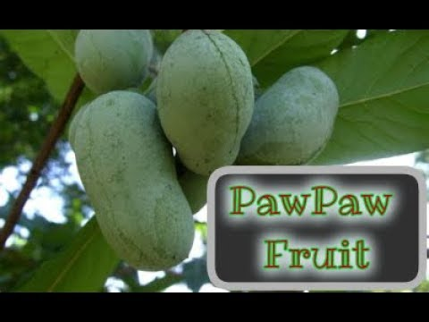 Forgotten Native American Fruit - Pawpaw - Benefits and Uses