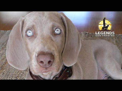Weimaraner Puppy: Hyper-excited, Impulsive