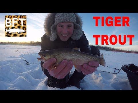 TIGER TROUT Ice fishing Manitoba VLOG#3