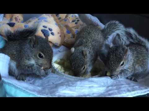 The orphaned squirrels are starting to eat solid food.