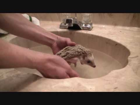 How to give your hedgehog a bath