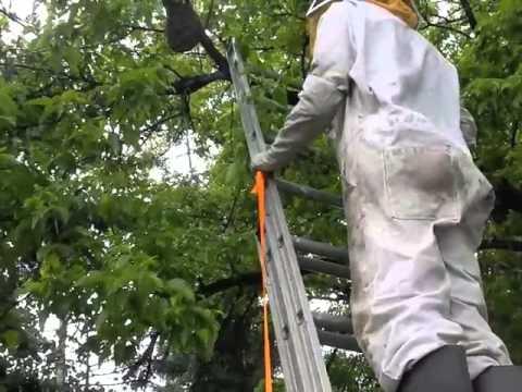 Bee Swarm Catch - 15 feet up a tree : )