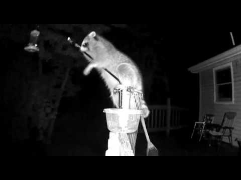 Raccoon trying to get hummingbird feeder