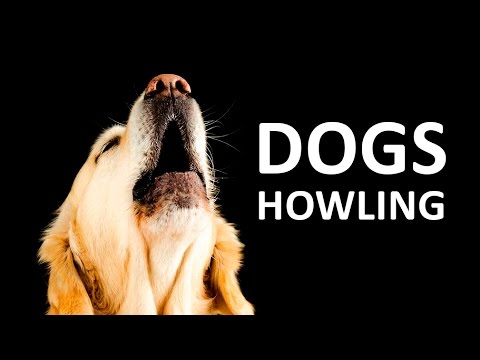 DOGS HOWLING to make your Dog Howl HD Sound Effect