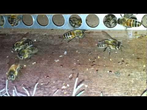 Lavender helps kill Varroa mites ?