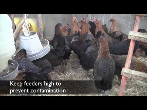 Poultry Disease Prevention