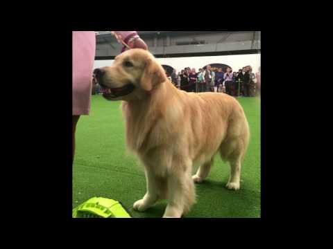 Golden Retriever Getting Groomed - Westminster Dog Show