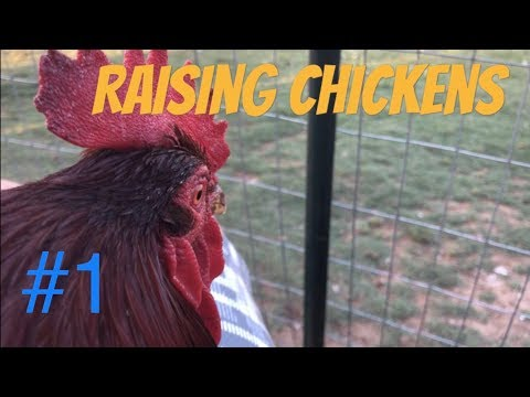 FULL GUIDE To Raising Chickens: Getting Started