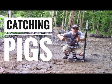 HOW TO CATCH A PIG: DIY Pig Catch Pen or Pig Corral - American Guinea Hogs