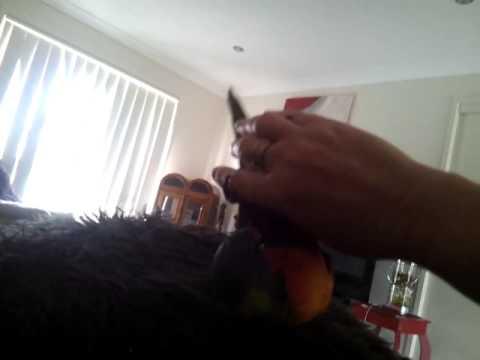 Wild Rainbow Lorikeet Tamed