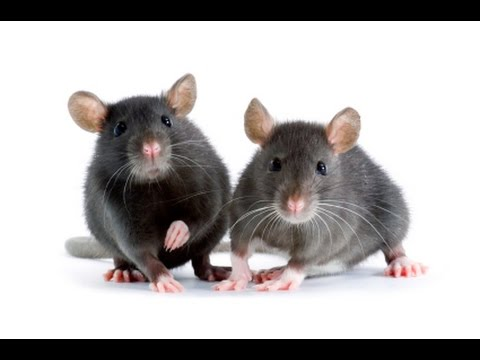House Mouse Exterminating - Mice Trapping NJ 732-640-5488