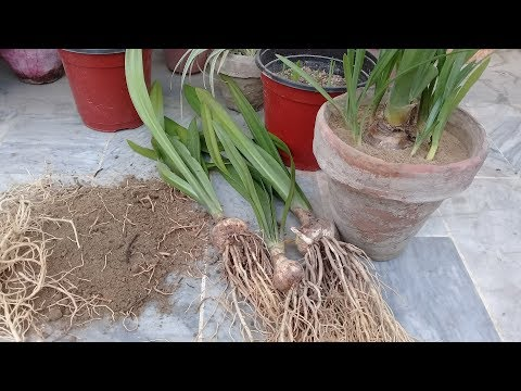 Dividing Flowering Bulbs
