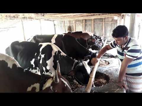Dairy farm rajapur Bangladesh by bd village life