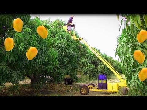 Mango Picking    Mango Harvesting    How to do it right  Noal Farm 2017