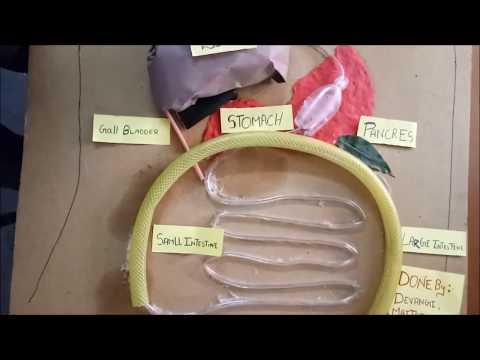 Human Digestive Working Model