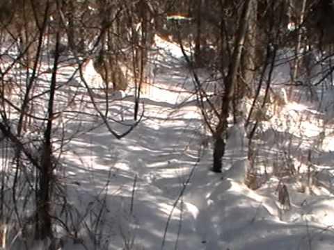 Nancy Today: Deer beds in the snow ASMR 'Sounds of Nature' wild deer