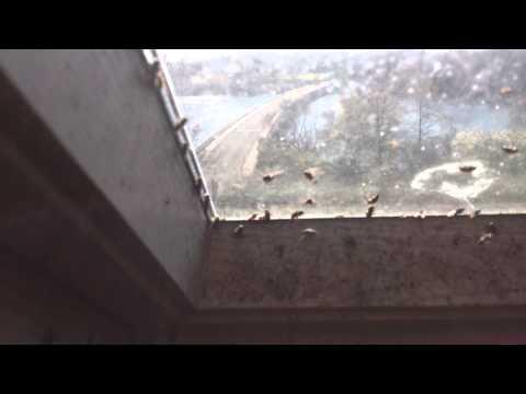 Cluster Flies on a velux window