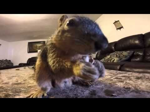 Squirrel makes a good house pet - very active Squirrel