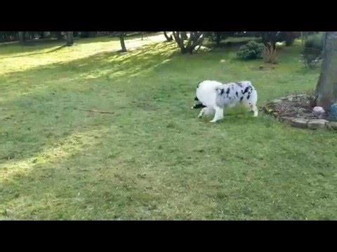 Dog and new puppy (Casper & Ozzy) playing in the garden