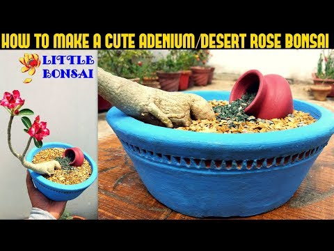 How To Make a Cute Adenium Bonsai-Fast N Easy