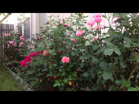 How to Naturally kill rid  insects Aphids from Roses & Garden DIY