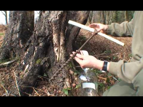 How to drink sap from a Tree