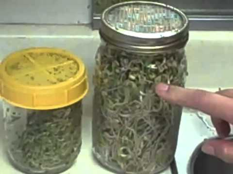 SPROUTING SEEDS IN A JAR - part 5 - BEAN SPROUTS - MyWholeFoodsKitchen.com