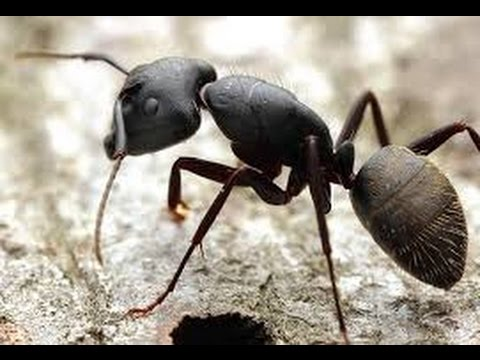 Black Carpenter Ant - Everything you need to know (BASICS) (Camponotus Pennsylvanicus)