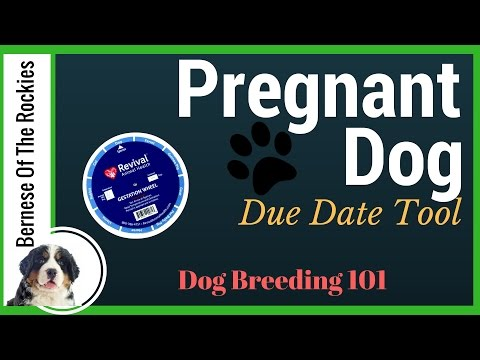 When is your pregnant dog due? (Our Favorite Tool) | Dog Breeding 101