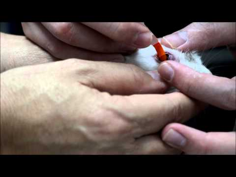 The young rabbit has a blood-shot eye - practising evidence-based medicine