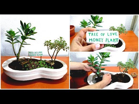 Tree of Love and Money Plant like Bonsai for Perfect Life