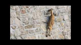 Ibex Climbing on dam - Stambecchi diga Cingino © roberto bianchetti