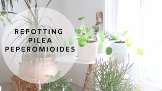Houseplant Care | Repotting Pilea Peperomioides