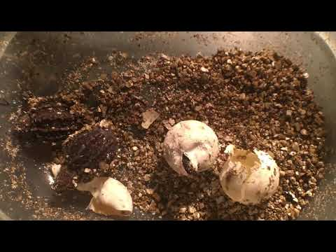 60 LB, 40 YR  ALLIGATOR SNAPPING TURTLE!!  SNAPPER EGGS HATCHING!!